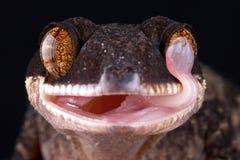 Riesiges mit einem Band versehener Gecko Papuas Cyrtodactylus-louisiadensis lizenzfreie stockbilder