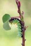 Riesiges Pfaumotte caterpillarSaturnia pyri stockbilder
