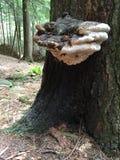Riesiges polypore auf einem Schierlingsbaum Stockbild