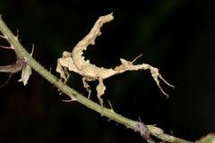 Riesiges stacheliges Steuerknüppel-Insekt, Macleays Erscheinung Stockbilder