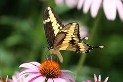 Riesiges Swallowtail 2 Lizenzfreie Stockbilder