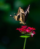 Riesiges Swallowtail Lizenzfreies Stockfoto
