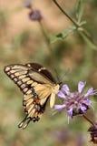Riesiges Swallowtail Lizenzfreies Stockfoto