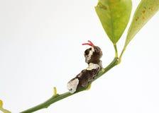 Riesiges Swallowtail Gleiskettenfahrzeug Lizenzfreies Stockfoto