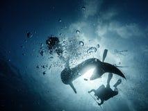 Riesiges whaleshark mit Tauchern stockfotos