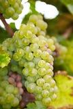 Άσπρα σταφύλια κρασιού Riesling Στοκ Εικόνες