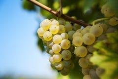 Riesling-druiven Stock Afbeeldingen