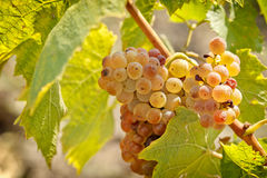 Riesling grape close -up Royalty Free Stock Photography
