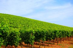 Riesling grapes. In a vineyard with blue sky Royalty Free Stock Photography