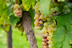 Riesling Grapes Stock Photo