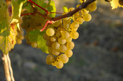 Riesling Grapes. Grapes in the sun royalty free stock photography