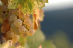 Riesling grapes. In autumn sun stock image