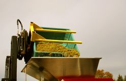 Riesling Grapes Dumped into Hopper. Crushed riesling grapes being dumped into a wine press Royalty Free Stock Images