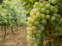 Riesling grapes. In the end of the summer Stock Photos