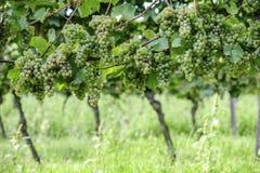 Riesling Vineyard Stock Photos