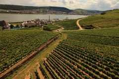 Riesling Vineyards Royalty Free Stock Photography