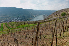 Riesling vineyards on Moselle river Royalty Free Stock Photography