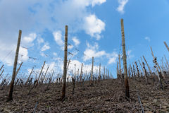 Riesling vineyards on Moselle river Stock Images
