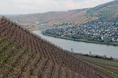 Riesling vineyards on Moselle river Stock Photos
