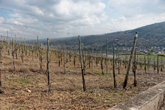 Riesling vineyards on Moselle river Royalty Free Stock Photos