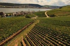 riesling vingårdar Royaltyfri Fotografi