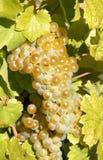 Riesling, winogrona obrazy royalty free