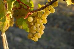 Riesling, winogrona Fotografia Royalty Free