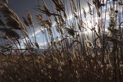 Riet, bies, tegen bewolkte hemel Autumn Landscape Royalty-vrije Stock Afbeeldingen
