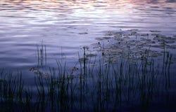 riet bij zonsondergang royalty-vrije stock afbeelding