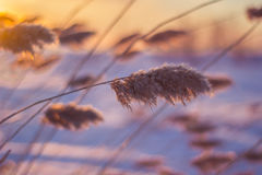 Riet bij zonsondergang Stock Foto's