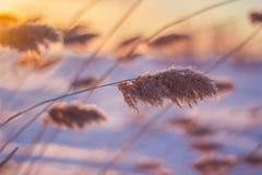 Riet bij zonsondergang Royalty-vrije Stock Afbeeldingen