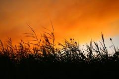 Riet bij Zonsondergang Smokey Royalty-vrije Stock Foto's