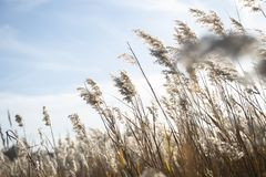 Riet in de wind stock afbeelding