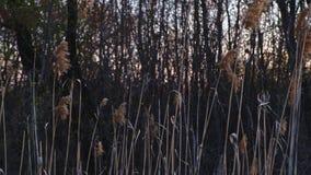 Riet in de wind in zonsondergangtijd stock videobeelden