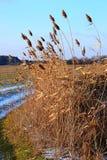 Riet in de winter het groeien dichtbij een kleine weg stock afbeelding