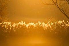 Riet in de zonsondergang Royalty-vrije Stock Afbeeldingen