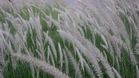 Riet die met windkracht bloeien stock footage
