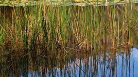 Riet die in Vijver groeien Stock Foto's