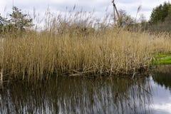 Riet door de rivier Stock Foto