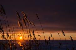Riet door zonsondergang Royalty-vrije Stock Foto