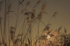 Riet in gouden licht stock fotografie