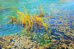 Riet in het meer Stock Foto's