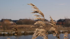 Riet Royalty Free Stock Image