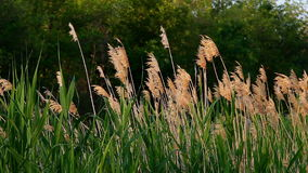 Riet in kalm weer stock footage