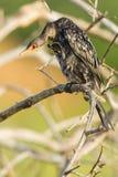 Riet & x28; Lang-tailed&-lange x29; Aalscholver, het Krassen Royalty-vrije Stock Foto