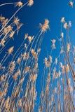 Riet met blauwe hemel bij zonsopgang Royalty-vrije Stock Afbeelding