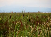 Riet (moeraslandinstallaties) van moerasland Stock Foto's