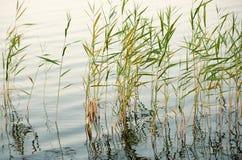 Riet in ondiep water royalty-vrije stock afbeelding