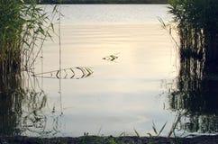 Riet in ondiep water, water en een plaats in de tekst stock fotografie