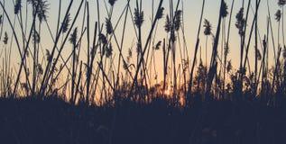 Riet op de achtergrond van de zonsondergang stock foto's